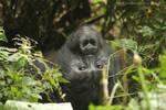 Gorilas in Uganda by elultimodeseo
