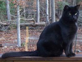 Black Cat by moxylyn