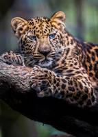 Leopard Cub by RoyalImageryJax