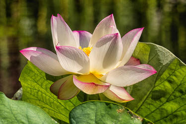 Locus Blossom by RoyalImageryJax