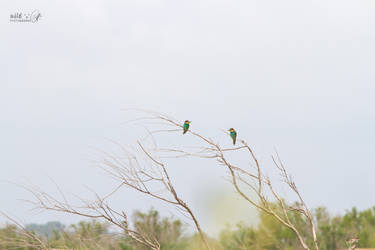 Bee eater 3 by KrisSimon