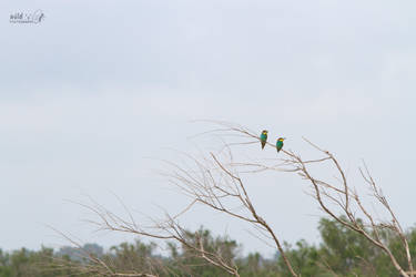 Bee eater 4 by KrisSimon