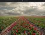 tulip field by stockkj