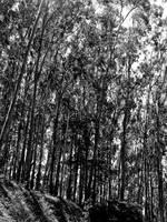 eucalyptus tree by redtrain66