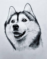 Siberian Husky by TheKissingHand