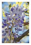 wisteria by Julanna