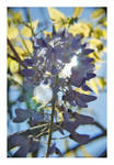 wisteria 2 by Julanna