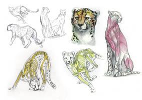 cheetah anatomy by citron-bleu