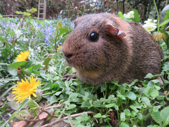 Mabel the agouti guinea pig by Candyfloss-Unicorn