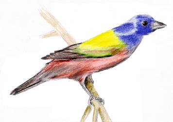 Painted Bunting by Vynnx