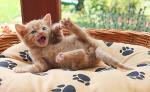 Kitten by Li11y