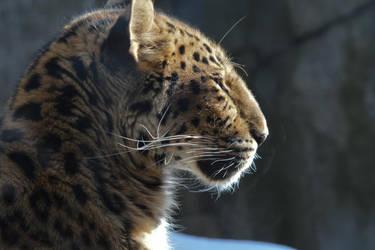 Leopard Behind Glass by ceruleankangaroo