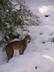 Cheetah in the snow by Firefly1999