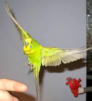 Budgie in flight 9 by greencheek