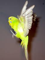 Budgie in flight 14 by greencheek