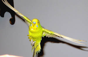 Budgie in flight 19 by greencheek