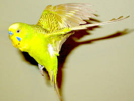 Budgie in flight 22 by greencheek