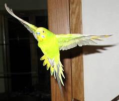 Budgie in Graceful Flight by greencheek