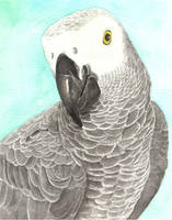 Grey Parrot by greencheek