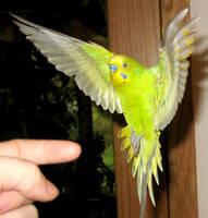 Budgie in flight 4 by greencheek