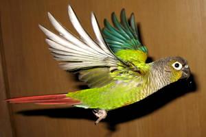Greencheek in flight 5 by greencheek