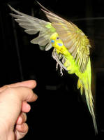 Budgie in flight 5 by greencheek