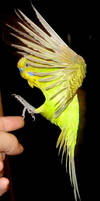Budgie in flight 6 by greencheek