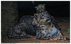 Snow Leopard Cubs 1 by Reto