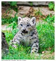 Snow Leopard Cub by Reto