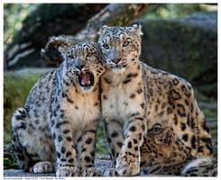 Snow Leopards by Reto