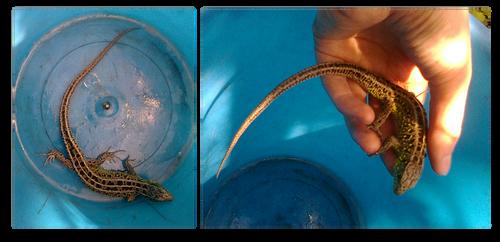 Lizard by Spirit-of-Laharah