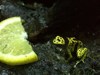 Lemon frog by dachshund85