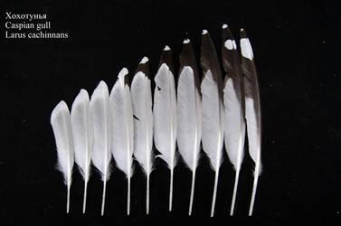 Caspian gull (Larus cachinnans) juv. primary by Wavyrr