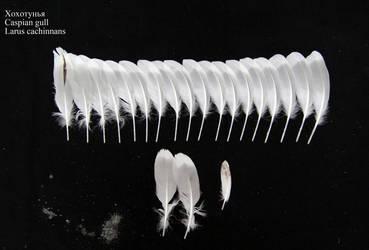 Caspian gull (Larus cachinnans) juv. secondary by Wavyrr