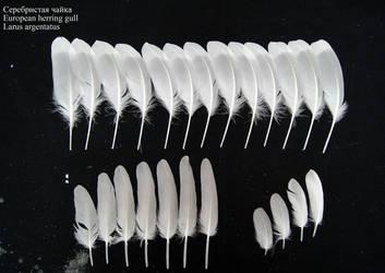 Herring gull (Larus argentatus) secondary, coverts by Wavyrr