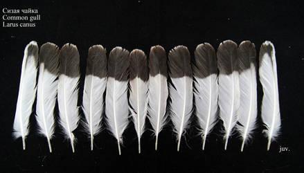 Common gull (Larus canus) juv. tail by Wavyrr