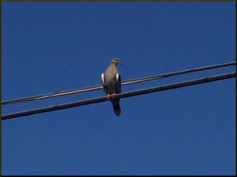 Dove by watermermaid