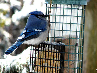 Blue Jay by pcellis