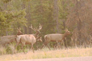 Elk Family Hanging By the Roadside 3 by Miss-Tbones