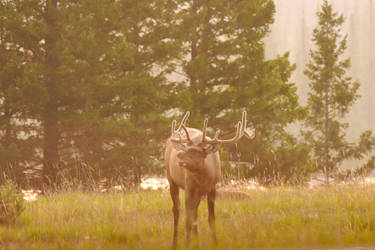 Male Elk Calling Out By the Roadside by Miss-Tbones