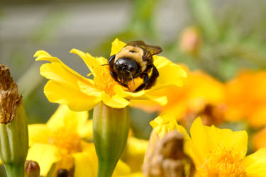 Autumn Bee and Flowers, Resting On the Petal 3 by Miss-Tbones