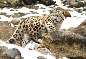 Snow leopards... by Freiherr-v-Stausberg