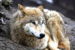 Wolf...II by Freiherr-v-Stausberg