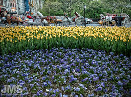 Grand Army Plaza Tulips 2005 by steeber