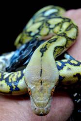 Snake Skin Timepiece - 1 by JAMills