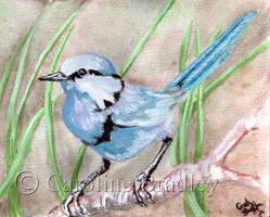 Splendid Fairy Wren by carolinebradley