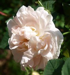 White flower by RyogaOnikimura