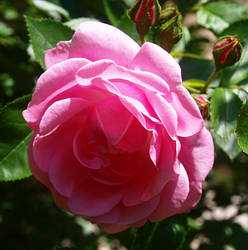 Pink Rose by RyogaOnikimura