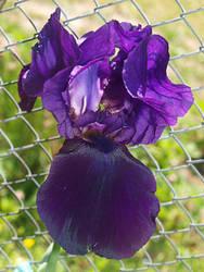 Iris by RyogaOnikimura