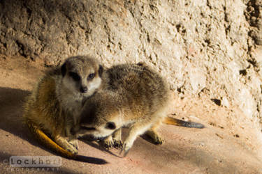 It's a Meerkat life.. by c-Lockhart